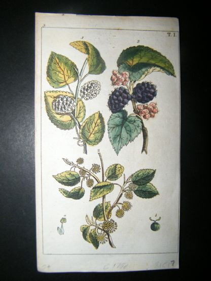 Wilhelm C1790's H/Col Botanical Print. White and black mulberry, Morus alba 5-1 | Albion Prints
